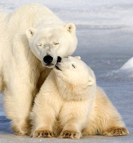 polar-bears2
